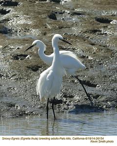 Snowy Egrets A26154.jpg
