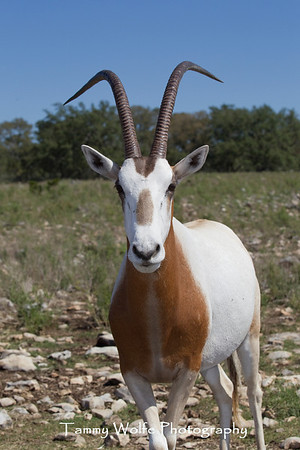 Oryx, Scimitar Horned