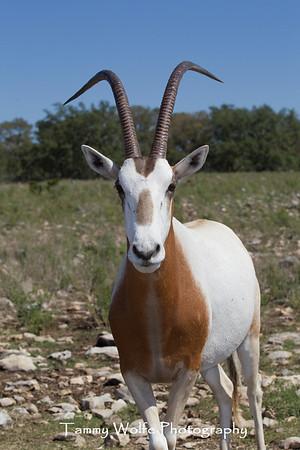 Oryx, Scimitar Horned