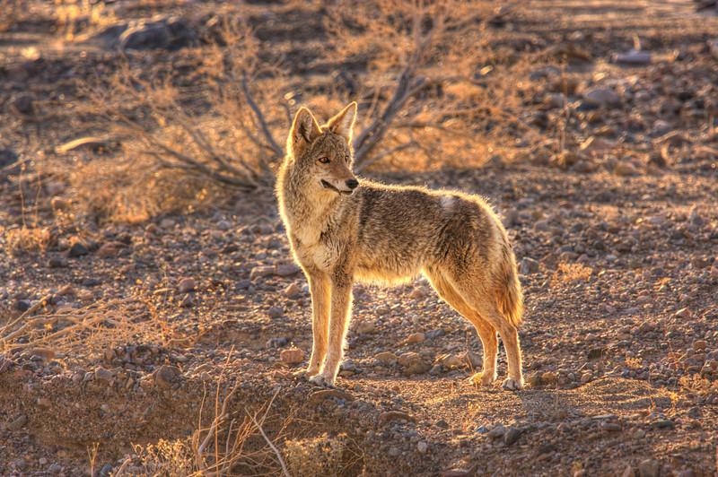 Cayote