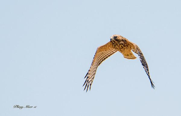 Cooper Hawk 2_DWL7814.jpg