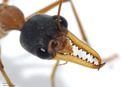 Myrmecia - Inch Ants