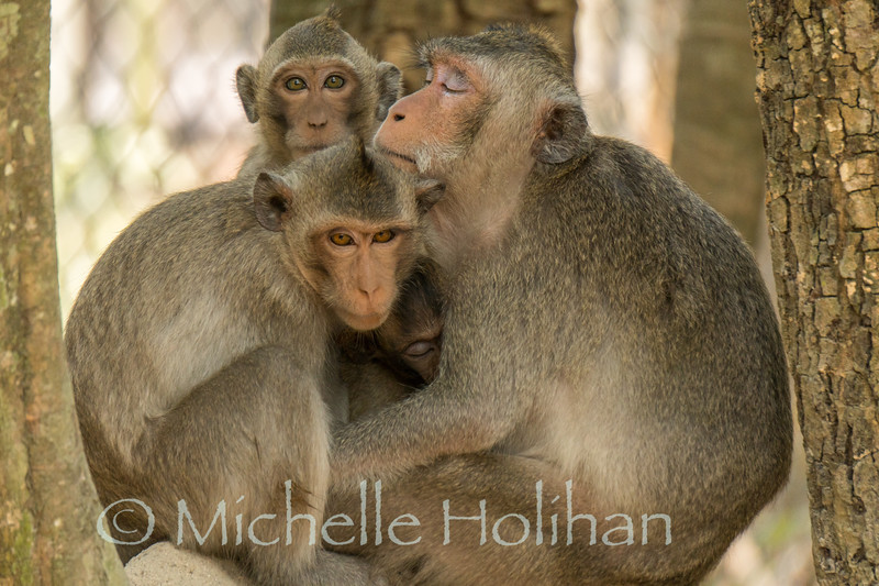 Wild macaques at Phnom Tamao Zoological Park and Wildlife Rescue Center, Cambodia