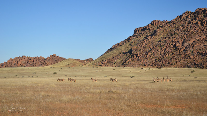Plains Zebra, Southern Namibia, July 2011.jpg