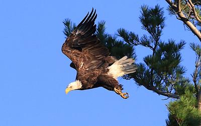 Stone Lake eagle