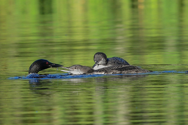 8-14-16 *^Common Loon Family - Growing Up