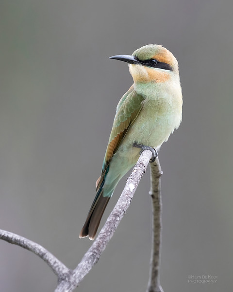 Rainbow Bee-eater, Townsville, QLD, Jan 2020-1.jpg