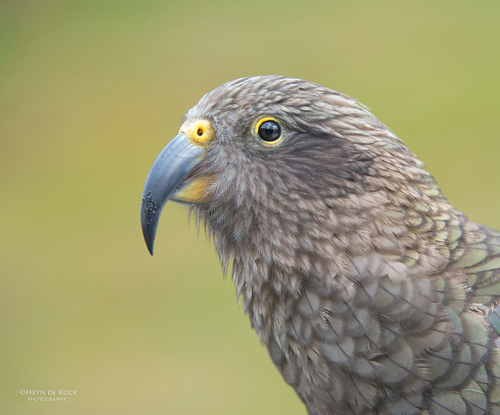 Kea, Bealey, SI, NZ, Jan 2013.jpg