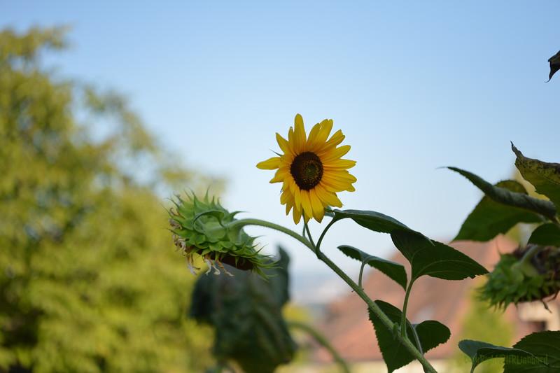 Sunflower Lonay_20092020 (2).JPG