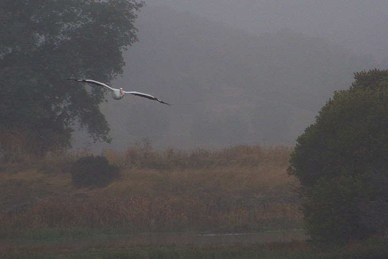 Pelican & Fog