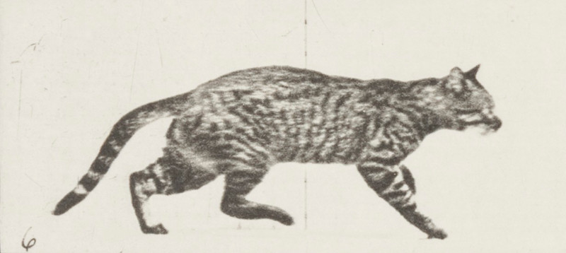 Cat trotting, changing to a gallop