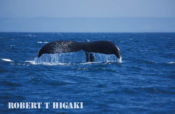 Humpback whales, Monterey bay