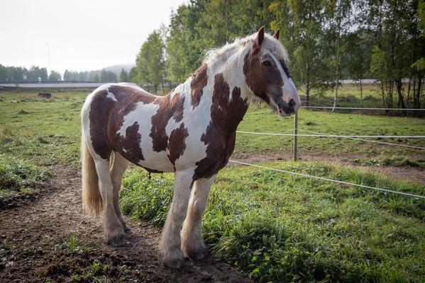 Källvikshästar