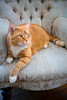 This orange colored tabby cat resting on a chair was photographed in one of our client's home.  As a professional photography business that specializes in pet portrait photography, we focus on capturing photographs that reflect the nature and personality of your pets.  We offer flexible pricing packages and also offer pet portrait sessions in our Richmond Virginia photography studio.