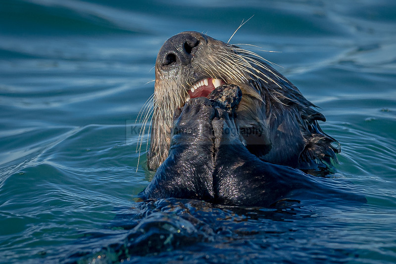 Sea Otter Feeding on Mussels