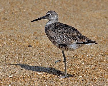 Travel - Duck 2010 - Shorebirds