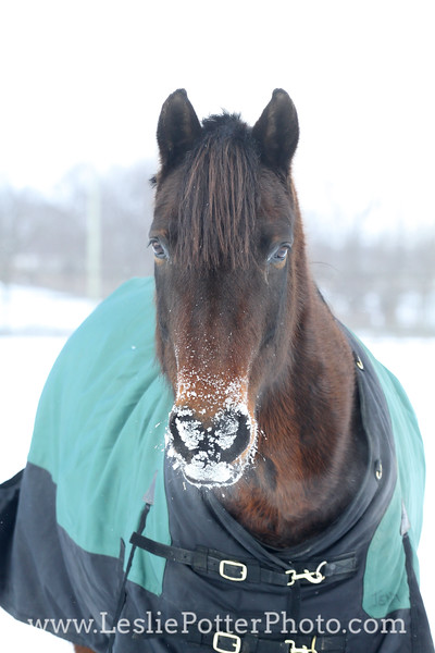 Horse with Snow on Muzzle