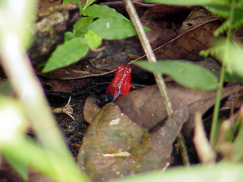 Blue Jeans Poison Dart Frog at Selva Verde Costa Rica 2-11-03 (50898055)
