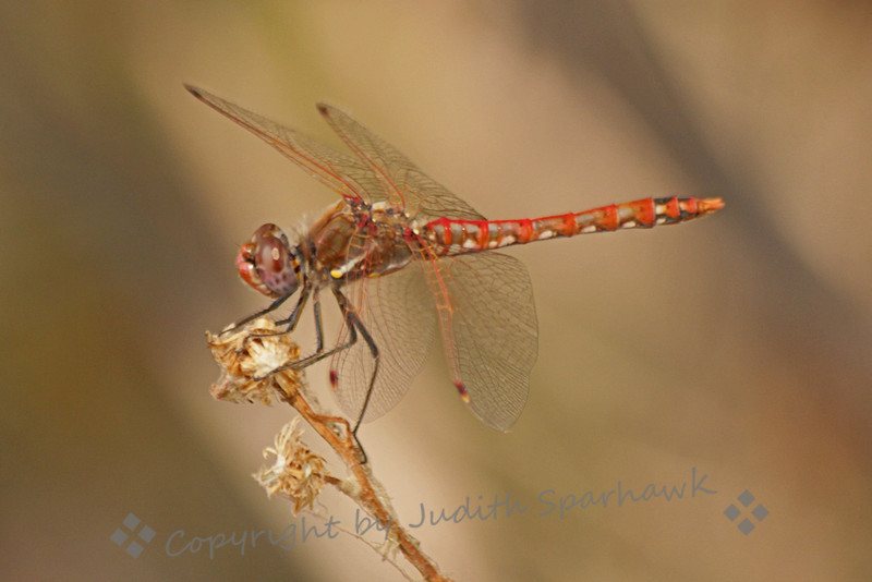 Male Variegated Meadowhawk ~ Photographed at San Jacinto Wildlife Area.