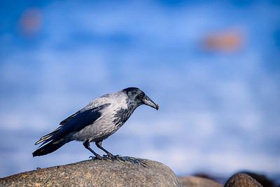 Kråke (Hooded crow)