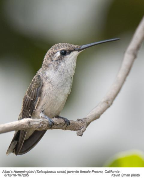 Allan's Hummingbird J107285.jpg