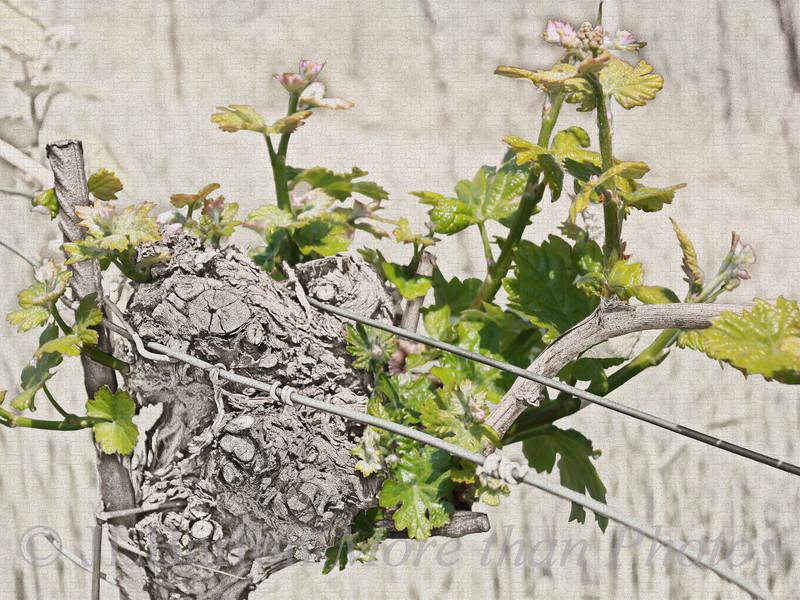 New Growth A Vienna vineyard in spring - Neustift am Walde