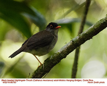 Black-headed Nighingale-Thrush A86793.jpg