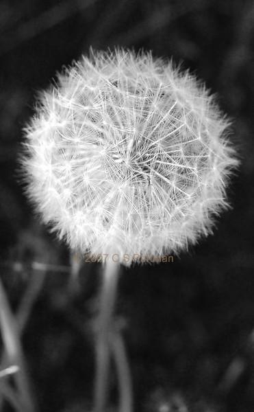 Dandelion in Balscote (1).jpg
