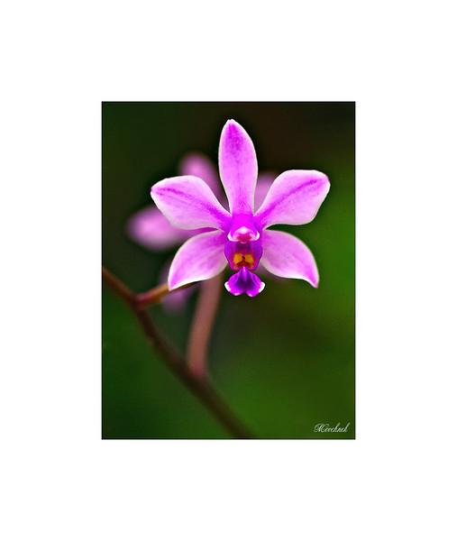 1orchids.jpg
