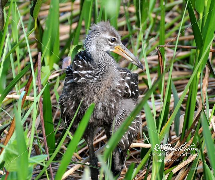 Juvenile Limpkin in the Florida Everglades