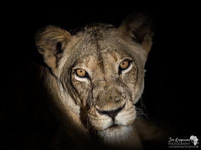 Monochrome Lioness at Night