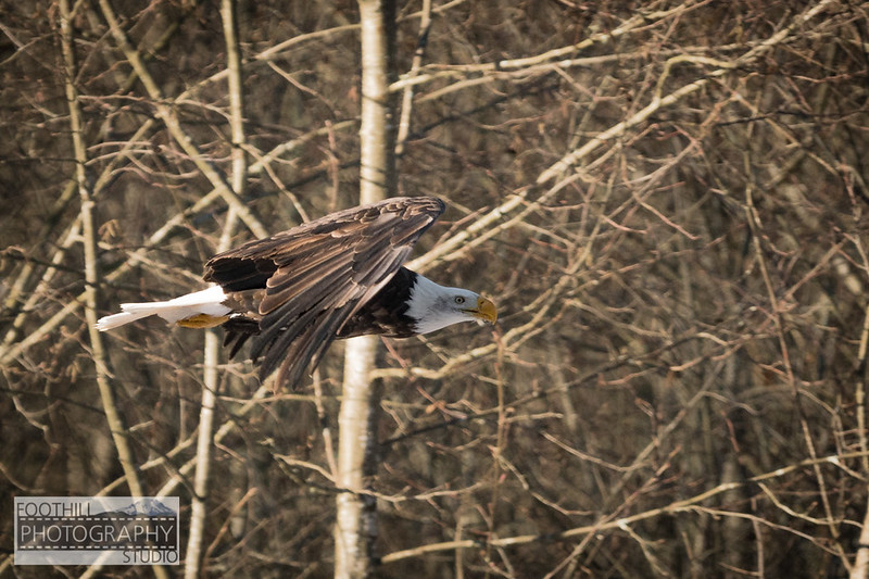 Eagle Sml-6.jpg