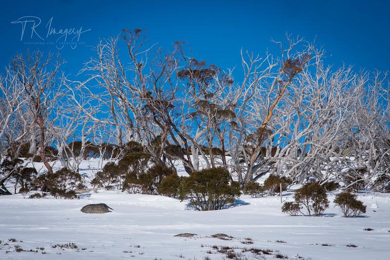 Snow tree 3-0139.jpg