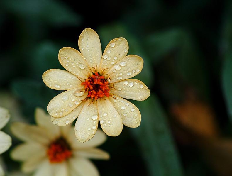 yellow-flower-after-rain-SDIM0360.jpg