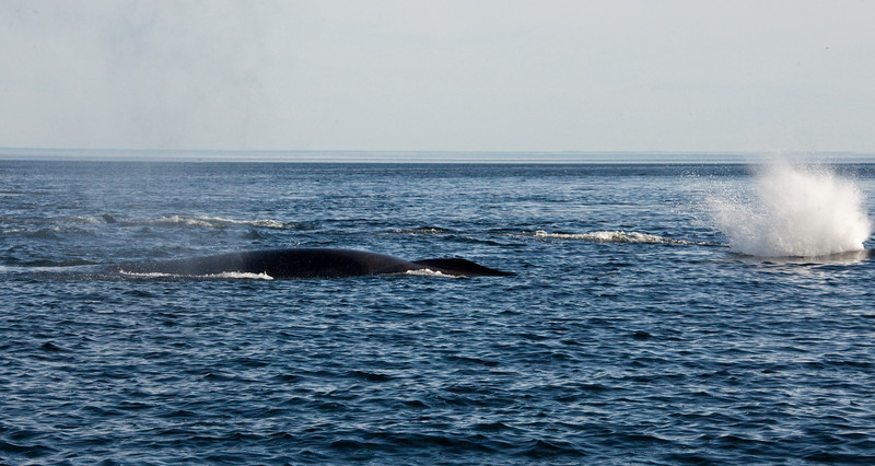 2011 quebec whale watching (28 of 80).jpg