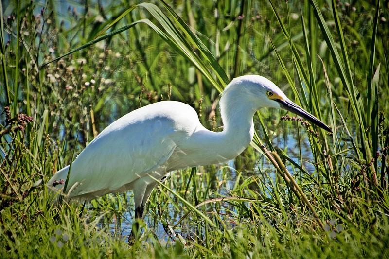 Snowy Egret - Judith Sparhawk