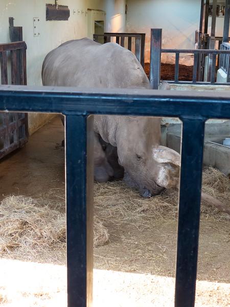 Animals, Marwell Zoo, White Rhinoceros - 02/02/2013