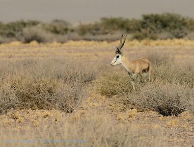 Springbok; Namibië; Namibia; NamibNaukluft National Park; Springbok