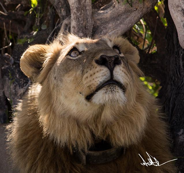Lions Etosha-S-9.jpg