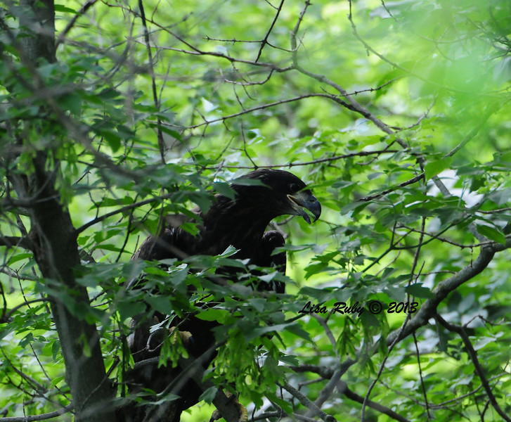 D17. Studying the predicament he/she was in. Spent a lot of time low to the ground learning how to get out of the underbrush and up into thicker branches that were more perch worthy. 6/27/13