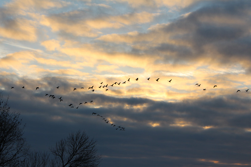 Canada Geese in Flight at Sunrise