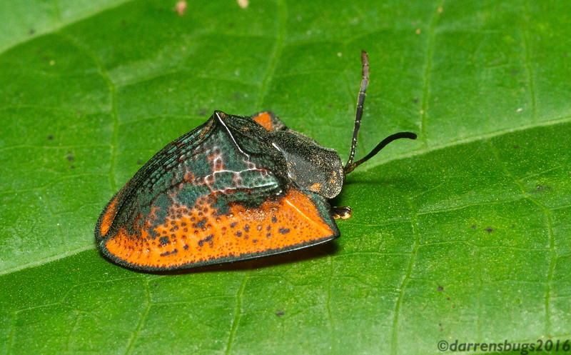 Tortoise beetle, Cassidinae, from Panama.