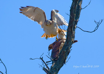 Mating Redtail Hawks