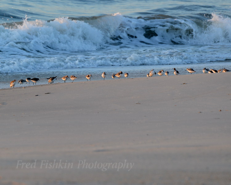 Piping Plovers 05_01_18.JPG
