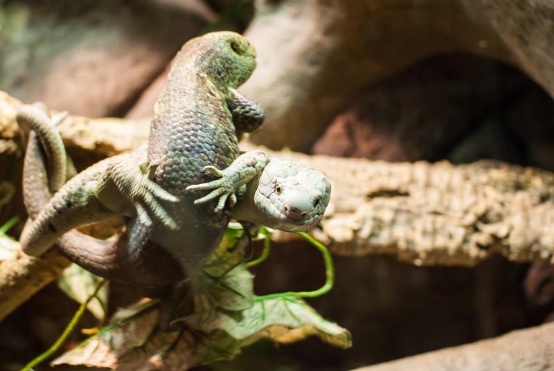 lizard fight-4.jpg
