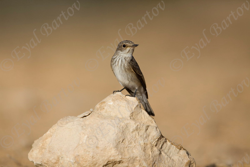 IMG_7495 Spotted Flycatcher.jpg