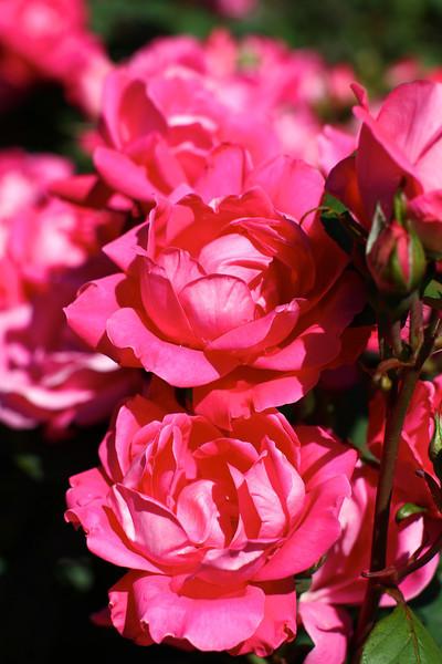 Portland International Rose Test Garden  2206.jpg