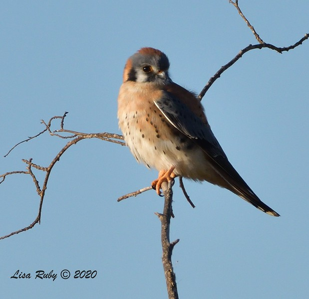 American Kestrel  - 1/1/2020 - San Diego River and Mission Bay