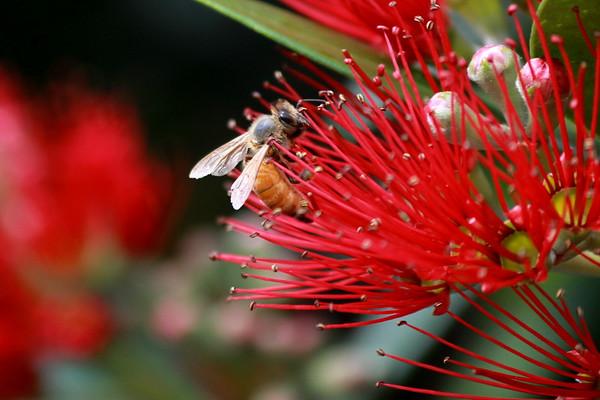 Honey bee on Rata (4)