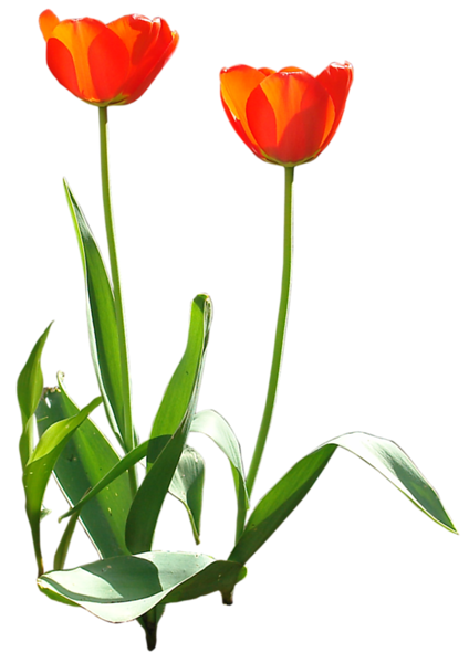 tulip_03_by_gd08.png